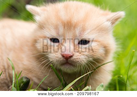Closeup of a day old ginger kitten on a lawn