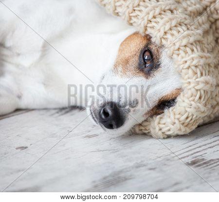 Lying dog at home. Dog at white