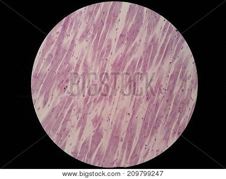 Histology of cardiac muscle under microscope view