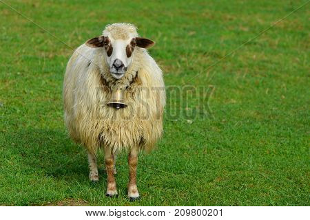 White Sheep Grazing On Green Meadow In Nature.