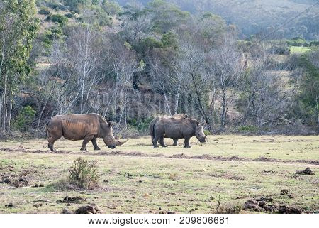 A group of white rhinos in a game reserve in South Africa