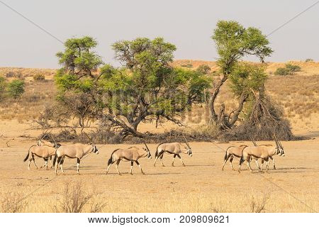 A herd of gemsbok in the dry Auob river bed in the Kgalagadi Transfrontier Park, situated in the Kalahari Desert which straddles South Africa and Botswana.