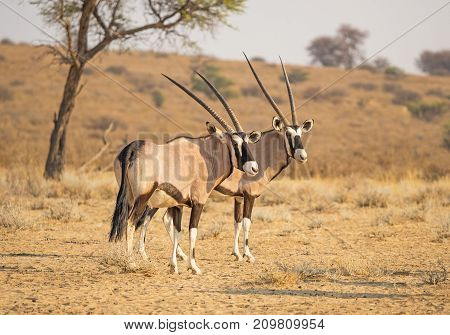 A pair of gemsbok in the Kgalagadi Transfrontier Park, situated in the Kalahari Desert which straddles South Africa and Botswana.