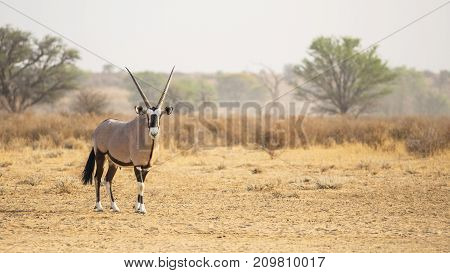 A gemsbok in the Kgalagadi Transfrontier Park situated in the Kalahari Desert, which straddles South Africa and Botswana.