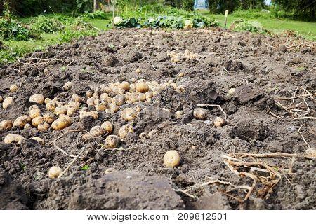 Potato harvest on private vegetable garden.