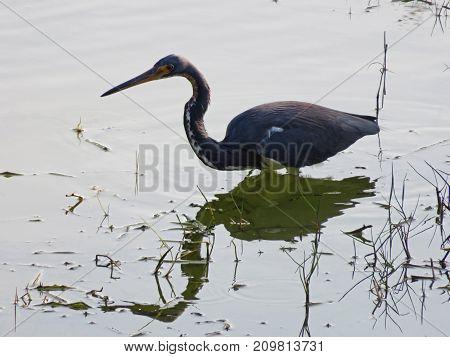 Little Blue Heron Ding Darling Wildlife Refuge Florida