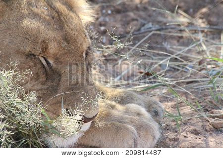 A sleeping lion in the wilds of Africa