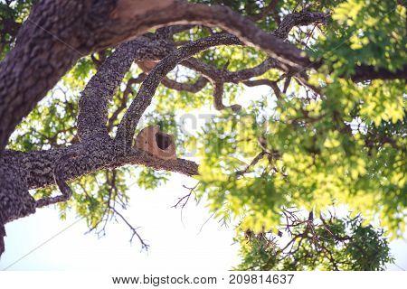 Bird Rufous Hornero nest construction on tree.