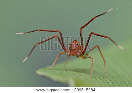 macro image of a cute red ant mimic spider