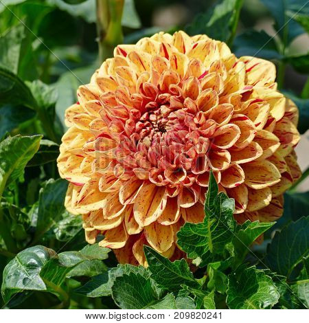 Bright yellow dahlias in the flowerbed in the park. Floral background.