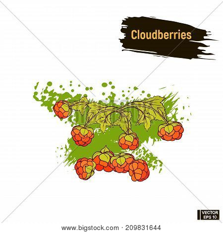 Colored Image Berry, Cloudberries Sketch