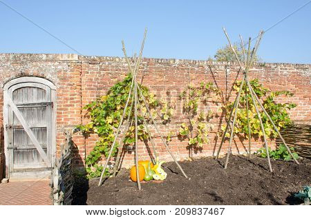 English walled garden with Pumpkins on display