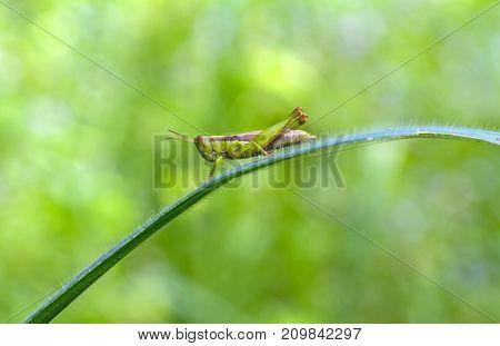Close up Grasshopper eating green leaf on natural light