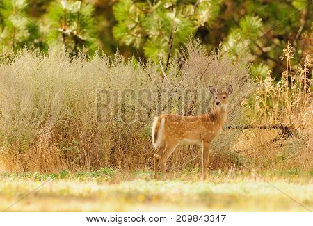 Young (a fawn) whitetail deer (odocoilus virginianus)