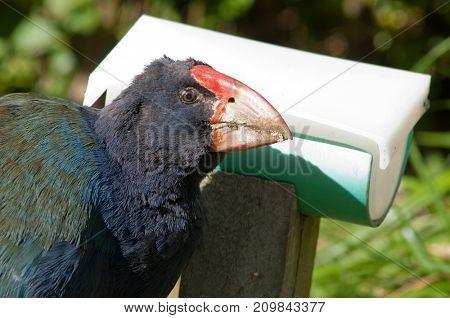 Rare, nearly extinct flightless bird, a Takahe in New Zealand at a feeder