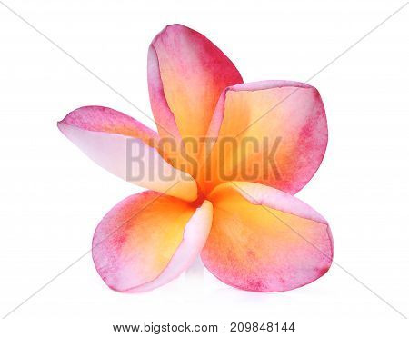 pink frangipani (plumeria) tropical flower with water drop isolated on white background