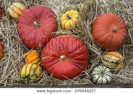 Rural natural background of colorful pumpkins lying on the hay.