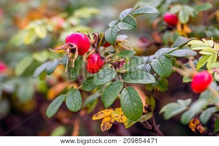 Striking red rosehips on a twig of a Rosa Rugosa shrub in the foreground. It is autumn now and the colors of the leaves are changing.