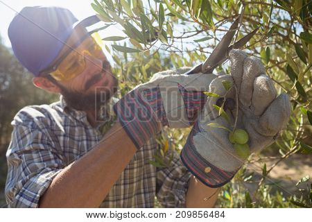 Farmer cutting a olives with scissors on a sunny day
