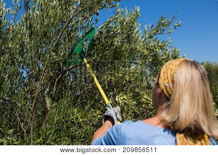 Farmer using olives picking tools while harvesting in farm