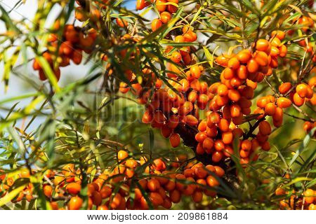 Hippophae Rhamnoides Known As Common Sea Buckthorn Shrub
