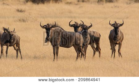 Black Wildebeest standing in a protected nature reserve in south africa
