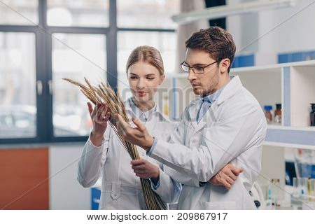 Biologists Working With Wheat Ears