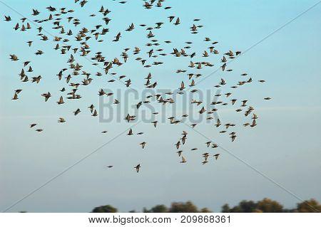 Flock Of Flying Birds On The Background Of Blue Sky. Concept Of Seasonal Flight Of Birds. Motion Blu