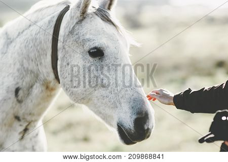 White Horse head hand touching Lifestyle animal and people friendship kindness concept