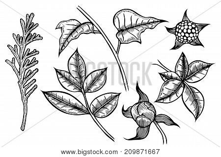 set of plants painted by hand, a branch of spruce or tuja, leafy branches and flowers