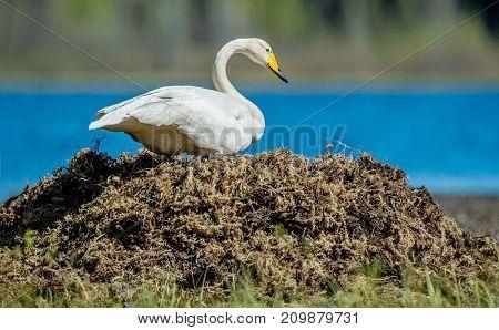 Beautiful Swan On Its Nest In The Lake. Whooper Swan. Cygnus Cygnus