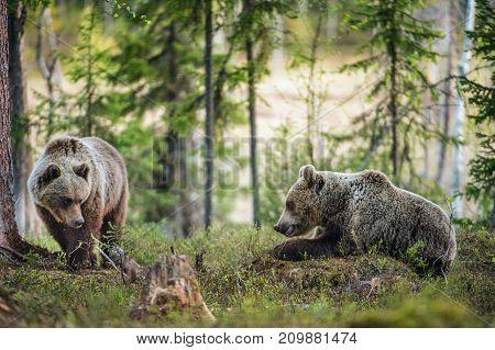 Wild Brown Bears ( Ursus Arctos ) in the summer forest.
