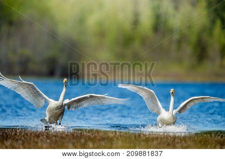 Landing swans on the water. Whooper Swan. Cygnus cygnus