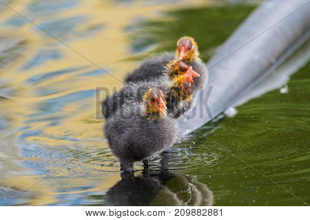 Close-up of little Baby Coots at the Lake. View on a beautiful young Coots in a Pond. Moorhens and Coots. Nature and Animal Backgrounds.