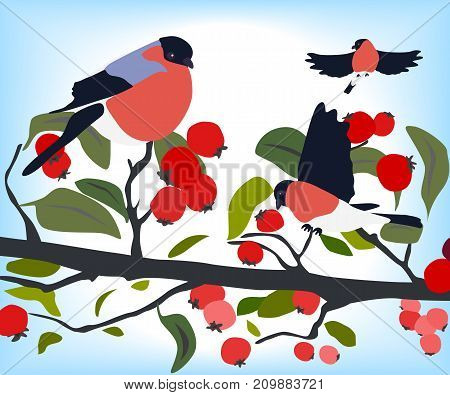 bullfinches on a branch of hawthorn, winter season