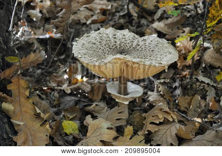 Parasol Mushroom, macrolepiota procera, in the forest. Magic background with mushroom in the forest