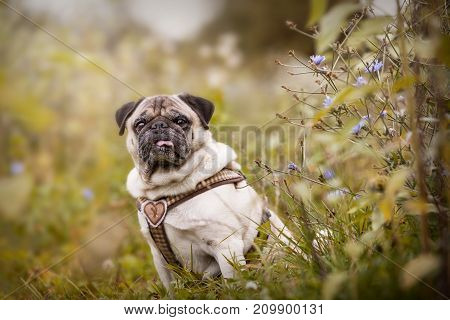 Portrait Of A Pug Dog Outdoors