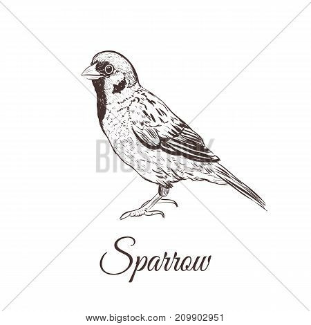 Sparrow sketch vector illustration. A series of drawings of birds. Sparrow hand drawing