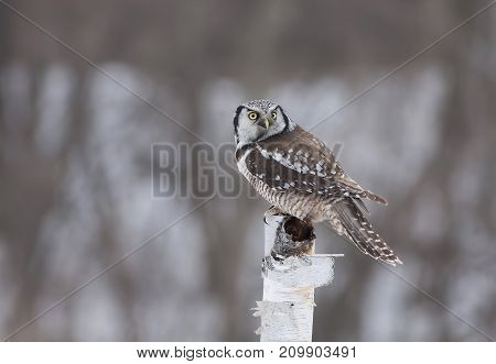 Northern Hawk-Owl (Surnia ulula) perched on top of a wooden post in winter
