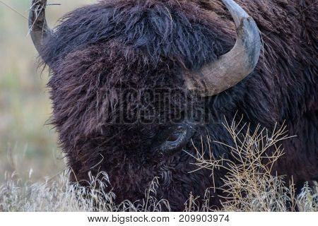 American Bison on the Colorado Plains - Genetically Pure Speciman
