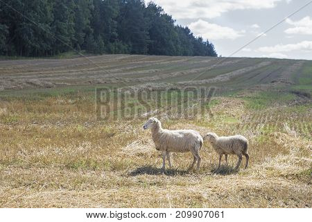 Belarus- sheep eat grass, fleece, sheep roaming the farm in the village, sheep posing for the camera
