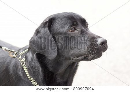 Hunting dog looks faithful close-up. Space under the text. 2018 year of the dog in the eastern calendar Concept: friend, protection, loyalty, vigilance, security