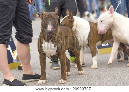 Bull Terrier dog different colors on a walk. Space under the text. 2018 year of the dog in the eastern calendar Concept: parodist dogs, dog friend of man, true friends, rescuers.
