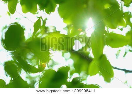 Green background blurred the leaves with sunlight