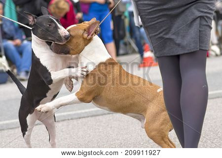Bull Terrier dog. Space under the text. 2018 year of the dog in the eastern calendar Concept: parodist dogs, dog friend of man, true friends, rescuers.