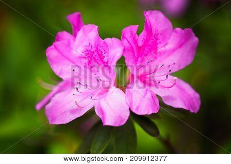 Closeup Pink satsuki azalea blooming in nature light