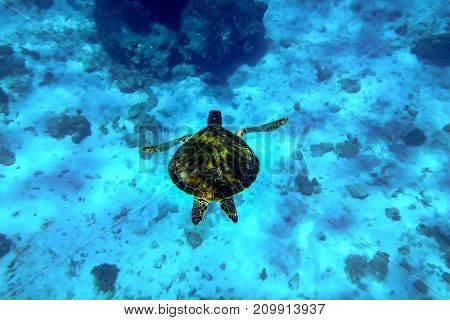 large loggerhead turtle swims in clear blue water of the sea