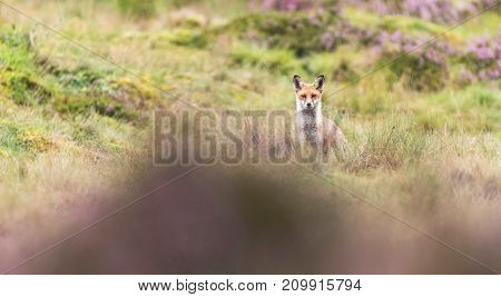Red Fox (vulpes Vulpes) In Moorland With Blooming Heather.