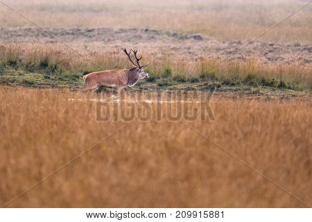 Red Deer Stag In Puddle In Grassland.