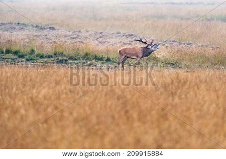 Bellowing red deer stag in a grassland.